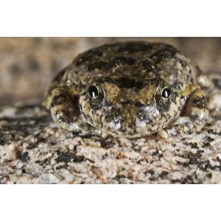 California tree frog,(Pseudacris cadaverina),