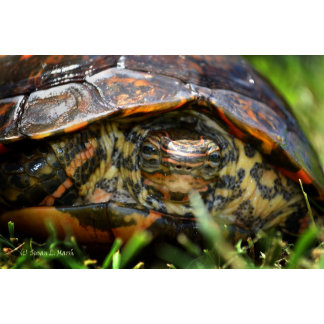 Wood turtle ornate head on in grass