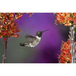 Black-chinned Humingbird, Archilochus alexandri,