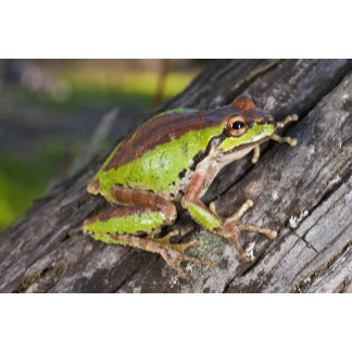 A Pacific treefrog perched on a log