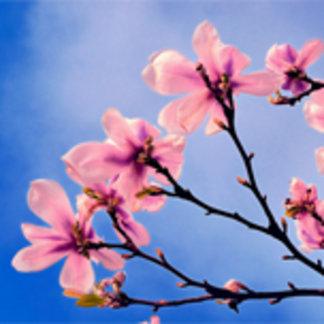 Bloomed Cherry Tree