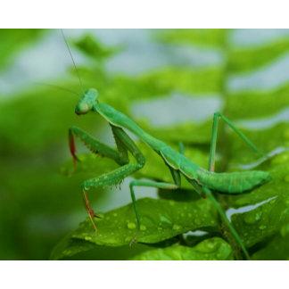 Praying Mantis Sparhawk
