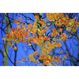 USA, Colorado. Aspen leaves that have taken