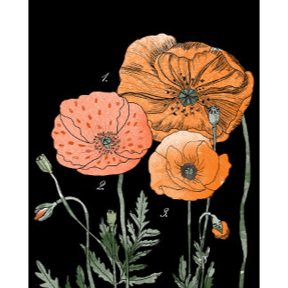 Botanical | Poppy