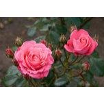 flowers_rose1.jpg