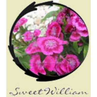 Dianthus/Sweet William