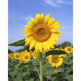 """""""Large yellow sunflowers poster print"""""""