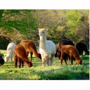 Alpaca Puzzle with Gift Boxcom