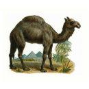 Quot The Camel Quot Vintage Animal Illustration Postcard Zazzle Com