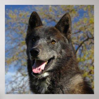 Black Wolf 24 x 24 poster