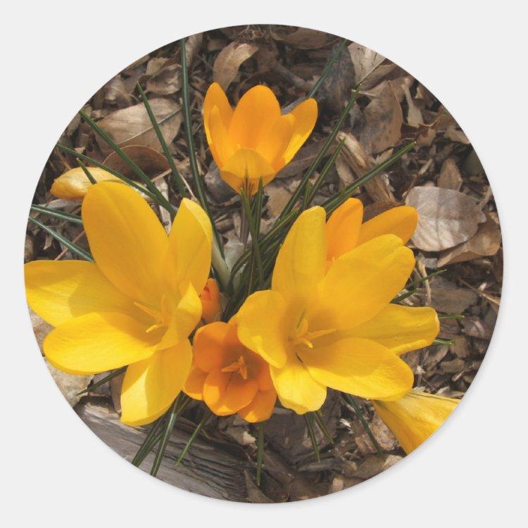 Yellow Crocus Classic Round Sticker