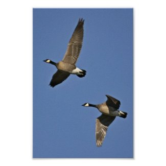 Lesser Canada Geese in Flight - goose flying Poster - working well together as a team