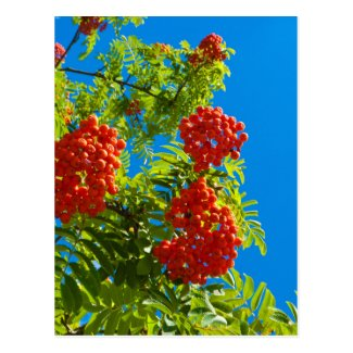 Rowan tree with red berries postcard