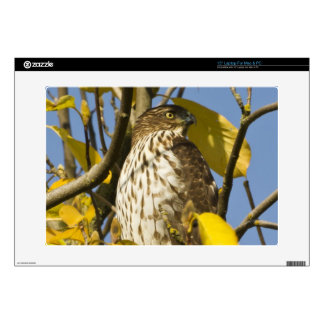 "Swainson's hawk at Lan Su Chinese Garden 2 Decal For 15"" Laptop"