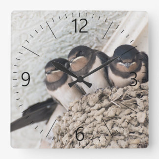 Swallow nestlings sitting in nest square wall clock