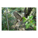 Swallow Tailed Butterfly Poster
