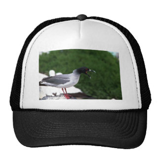 Swallow-Tailed Gull Calling From Rocks Mesh Hats