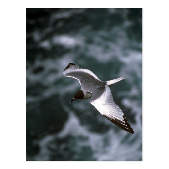 Swallow-Tailed Gull In Flight Postcard
