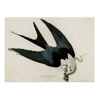 Swallow tailed Hawk Birds of America Poster