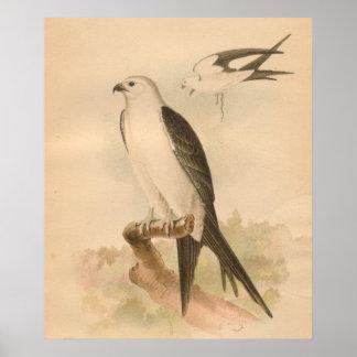 Swallow Tailed Kite Bird Vintage Art Print