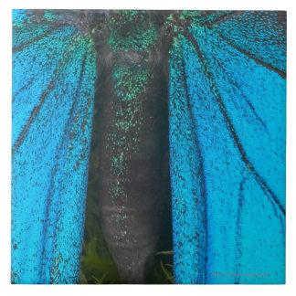 Swallowtail azul de la montaña (Papilio Ulises) Azulejo Cuadrado Grande