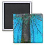 Swallowtail azul de la montaña (Papilio Ulises) Imán Para Frigorífico