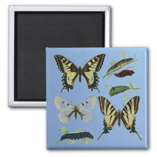 Swallowtail Butterflies, Caterpillars and Moth 2 Inch Square Magnet