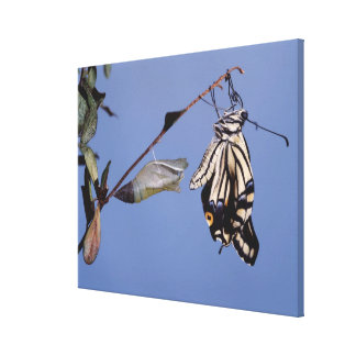 Swallowtail butterfly after metamorphosis canvas print