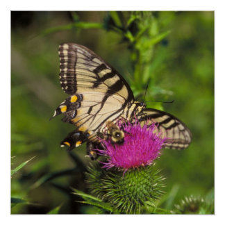 Swallowtail Butterfly and Bee on a Flower. Poster