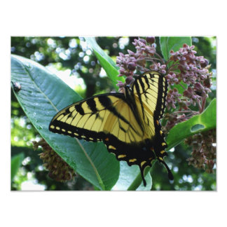 Swallowtail Butterfly I on Milkweed at Shenandoah Photo Print