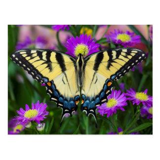 Swallowtail Butterfly on daisy Postcard