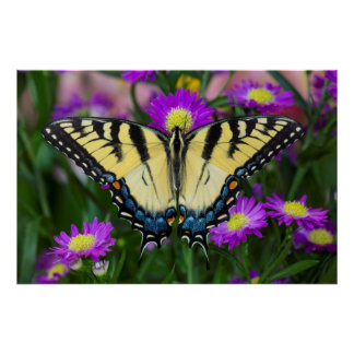 Swallowtail Butterfly on daisy Poster