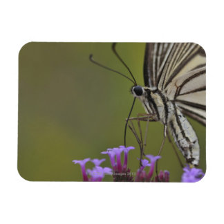 Swallowtail Butterfly on flower, Chiba Magnet