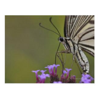 Swallowtail Butterfly on flower, Chiba Postcard