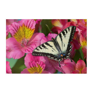 Swallowtail Butterfly on pink Acrylic Print