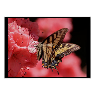 Swallowtail Butterfly on Pink FlowersPoster Poster