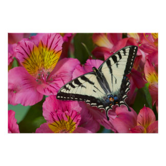 Swallowtail Butterfly on pink Poster