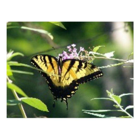 Swallowtail Butterfly Postcard