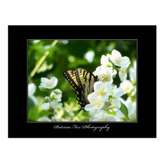 Swallowtail Butterfly - Postcard