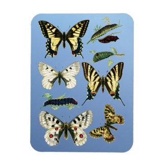 Swallowtail Caterpillars, Butterflies and Moths Magnet