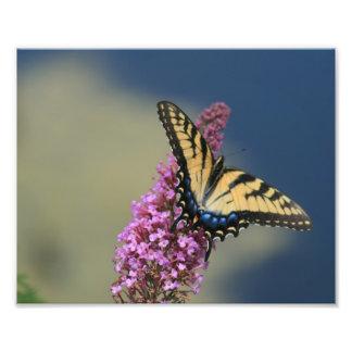 swallowtail del tigre fotografía