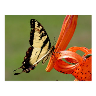 Swallowtail en lirio tigrado postal