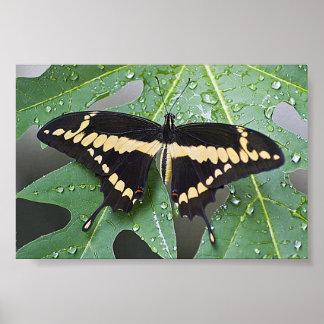 Swallowtail gigante Butterly en la hoja de la papa Poster