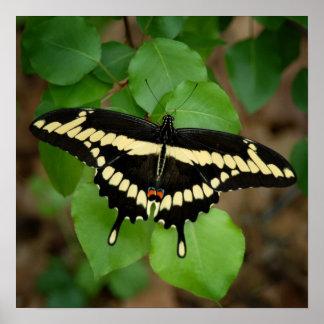 Swallowtail gigante impresiones