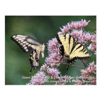 Swallowtail gigante y tigre del este Swallowtail Tarjetas Postales