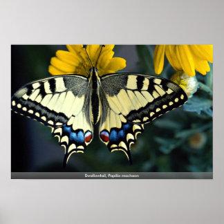 Swallowtail, machaon de Papilio Posters