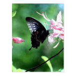 Swallowtail negro (2) tarjeta postal