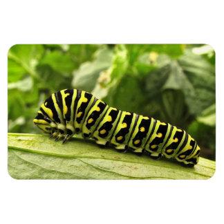 Swallowtail negro Caterpillar Imán De Vinilo