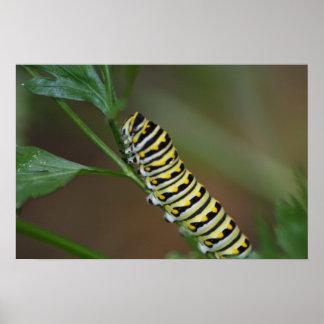 Swallowtail negro Caterpillar Póster