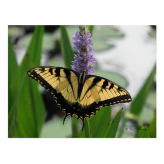 Swallowtail on Pickerel-weed Postcard